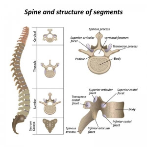 Spine and structure of segments