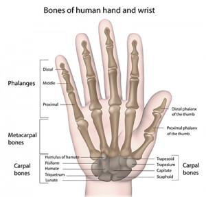 Bones of human hand and wrist
